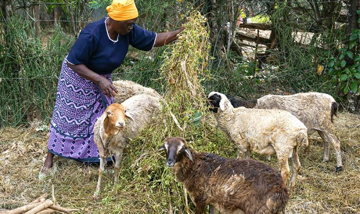 kiandegwa-villange-woman-feeding-goats